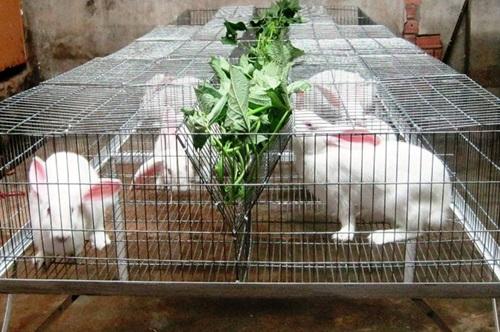 Kỹ thuật chăm sóc, nuôi dưỡng thỏ sinh sản